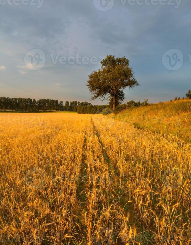 coucher de soleil sur le champ de céréales en été photo