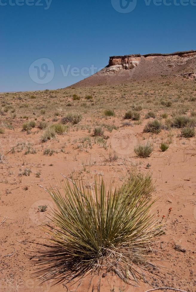 yucca dans le désert photo