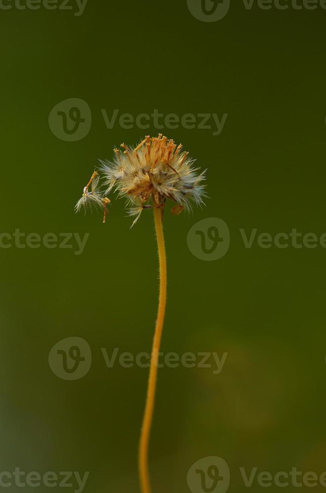 épillet d'herbe photo