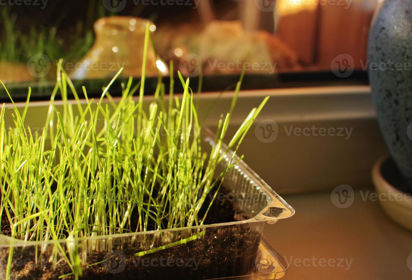 herbe germée photo