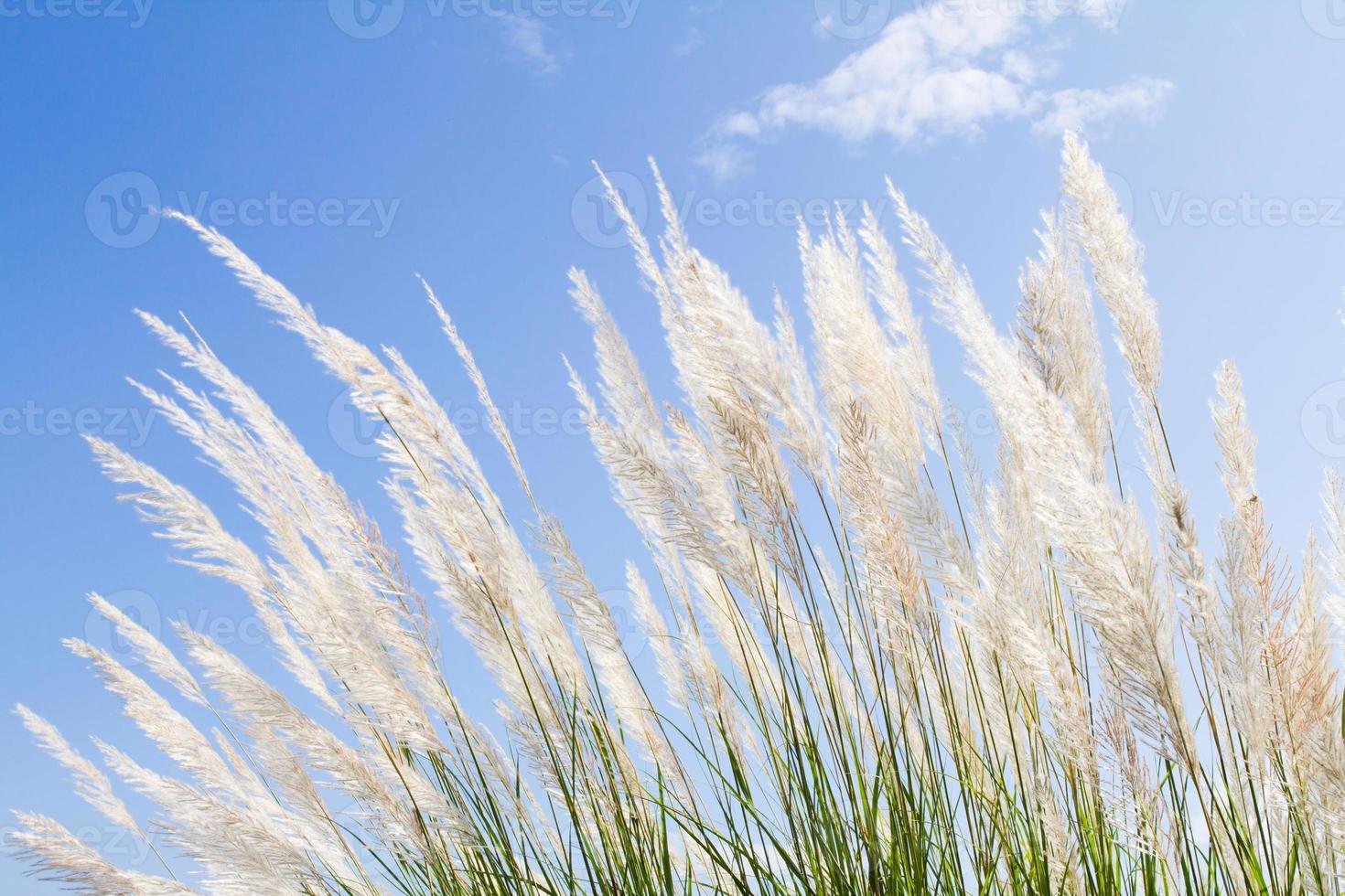 douceur plume blanche herbe avec fond bleu ciel et espace photo