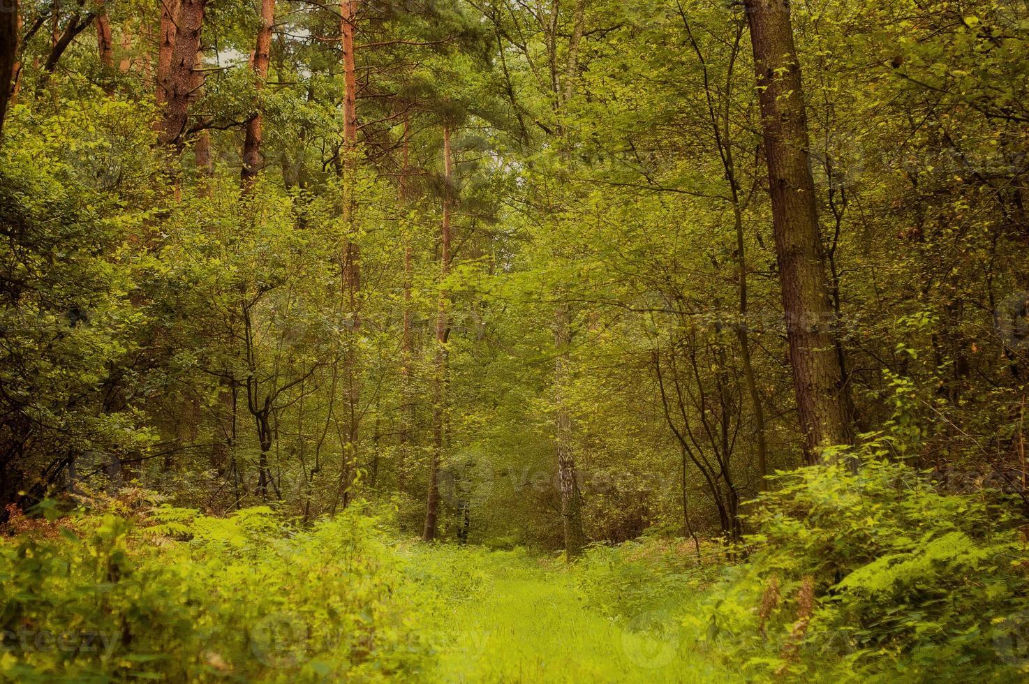forêt d'été polonaise photo