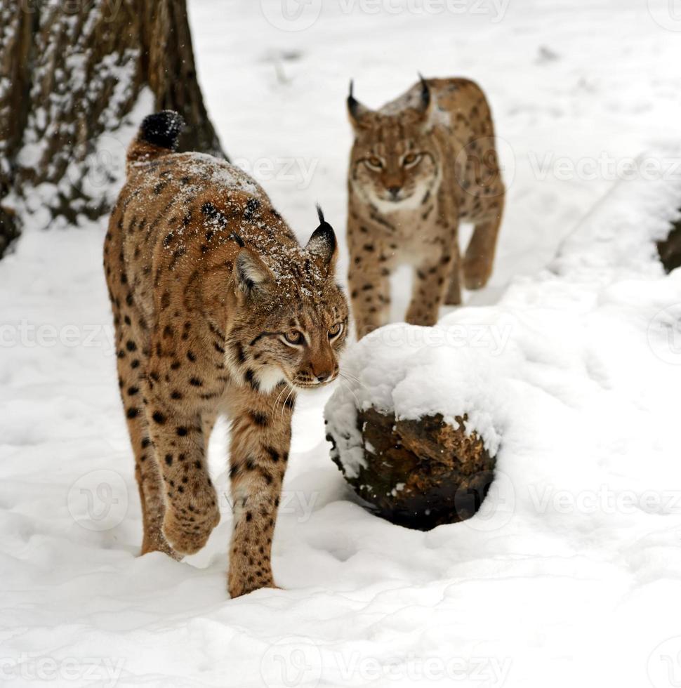 lynx d'hiver photo