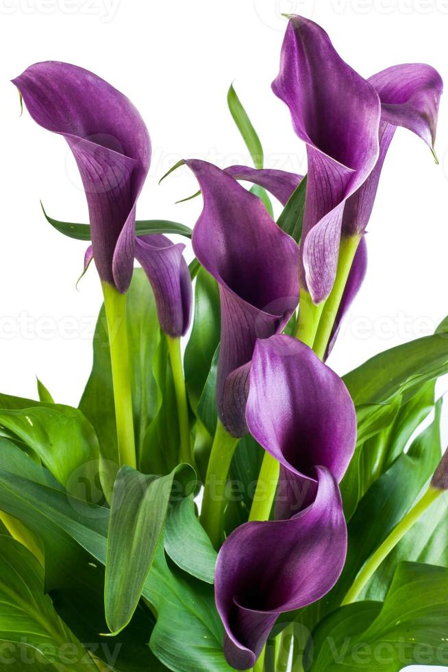 fleurs de calla photo