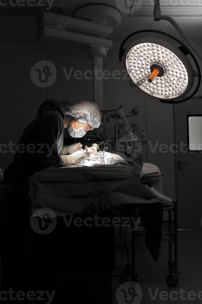 médecin vétérinaire en salle d'opération pour chirurgie photo