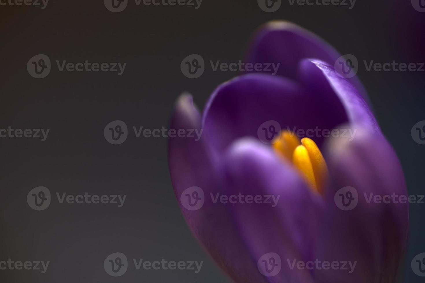 fleur de crocus photo