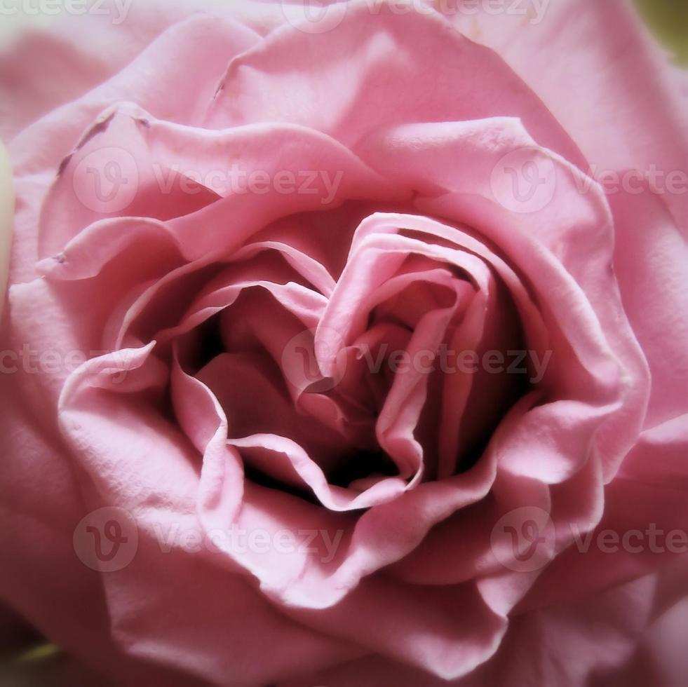 coeur rose photo