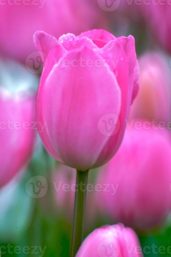 tulipes bouchent photo