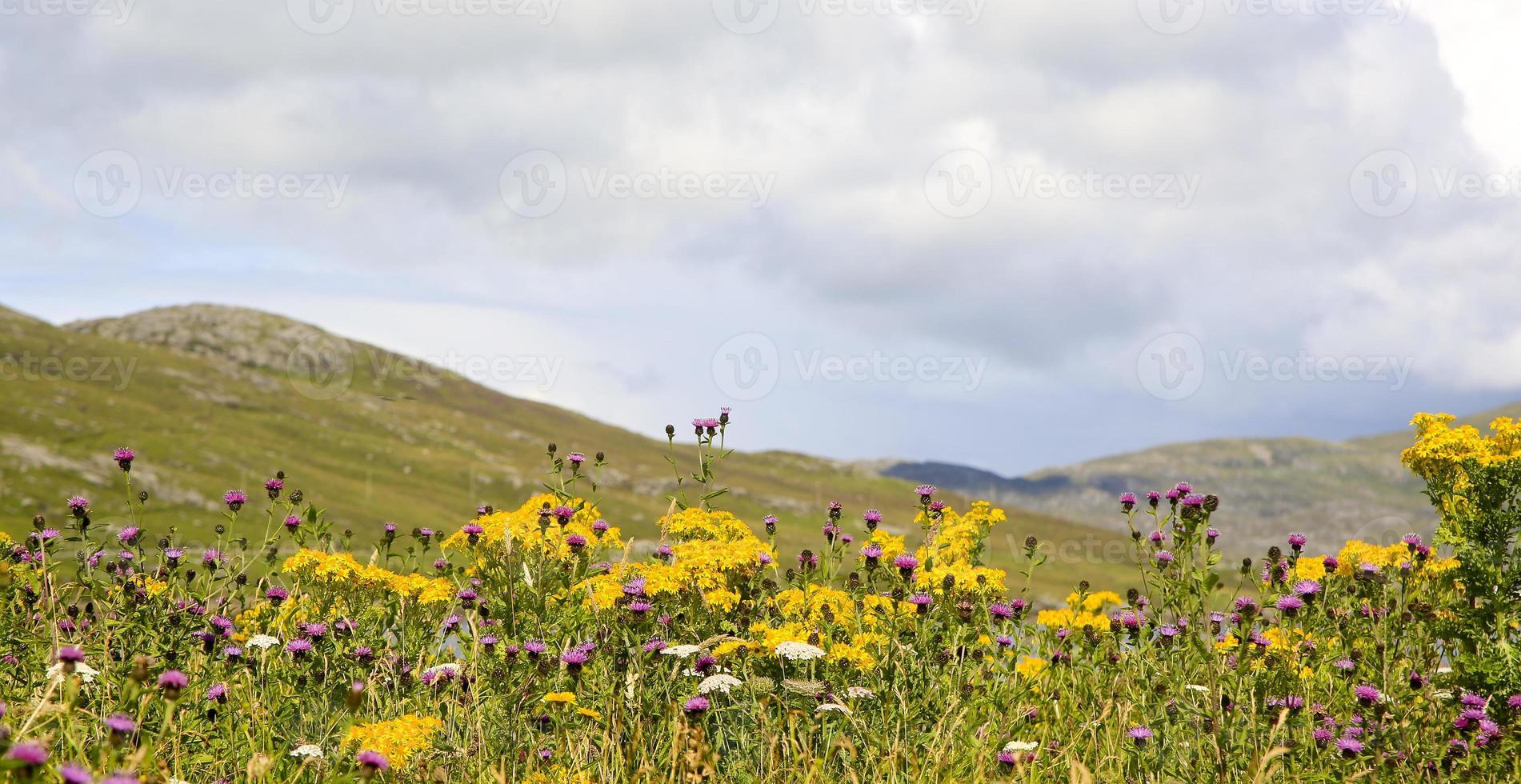 fleurs sauvages écossaises sur une colline photo