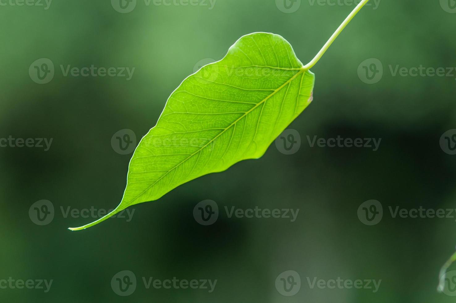 texture de feuille de bodhi vert photo