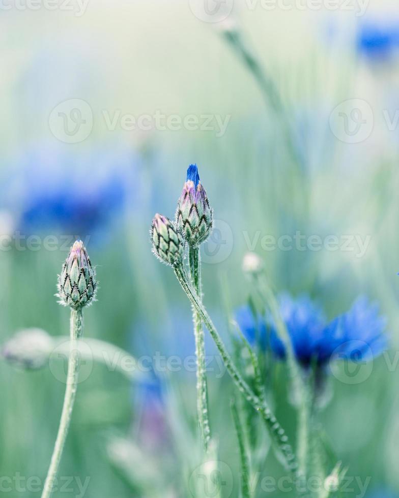 bleuets photo