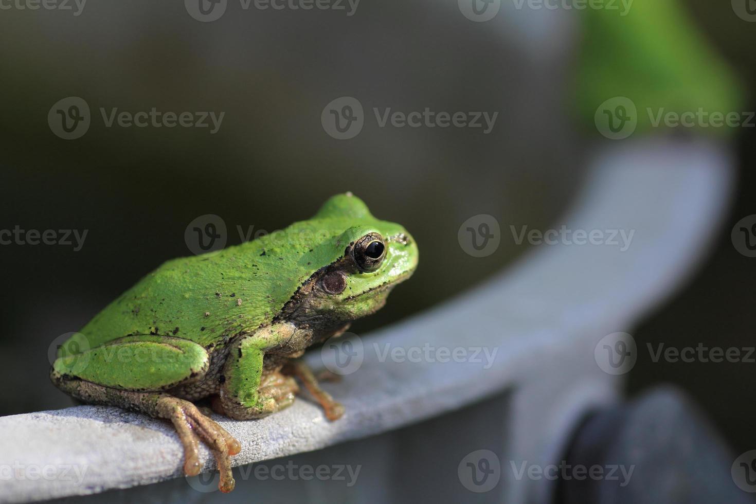 grenouille d'arbre bouchent photo