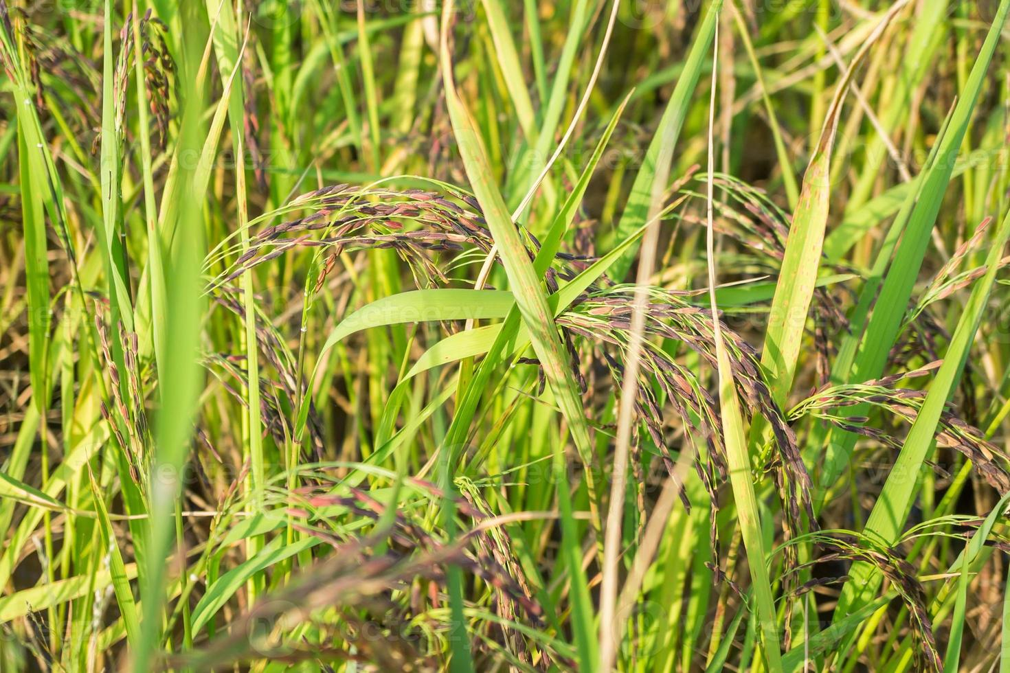 fermé riz aux rizières photo