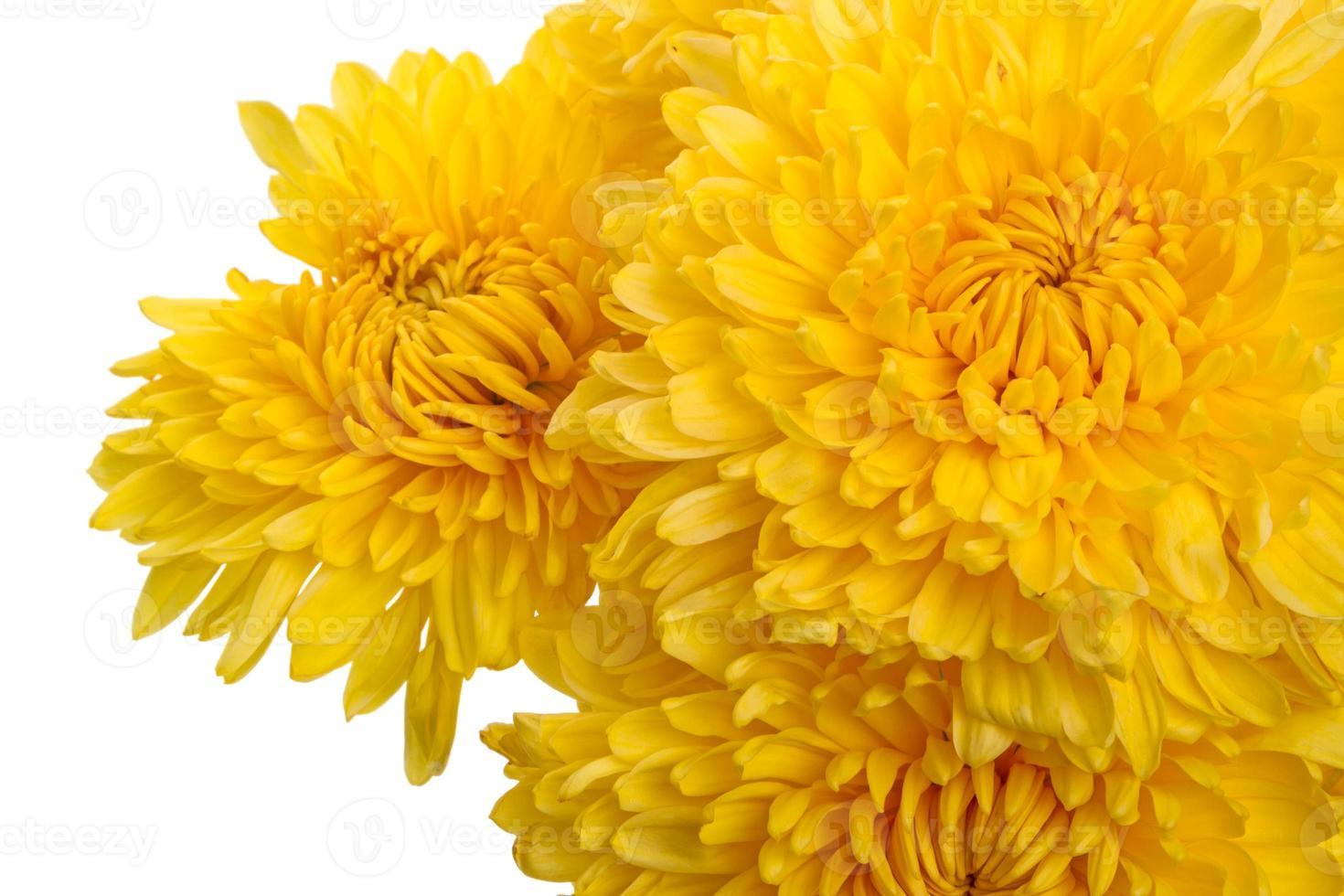 chrysanthèmes jaunes bouchent photo