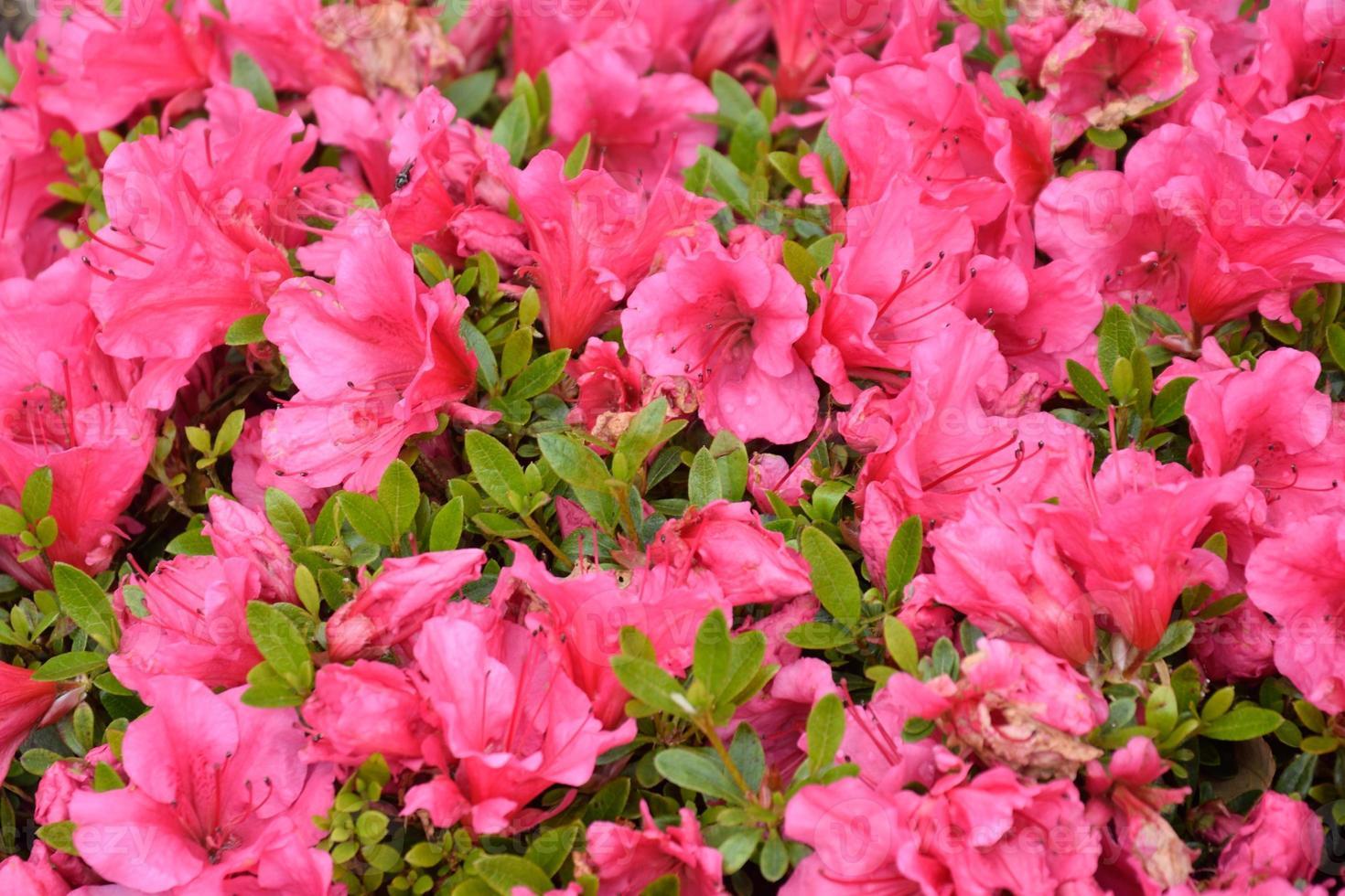rhododendrons en gros plan photo