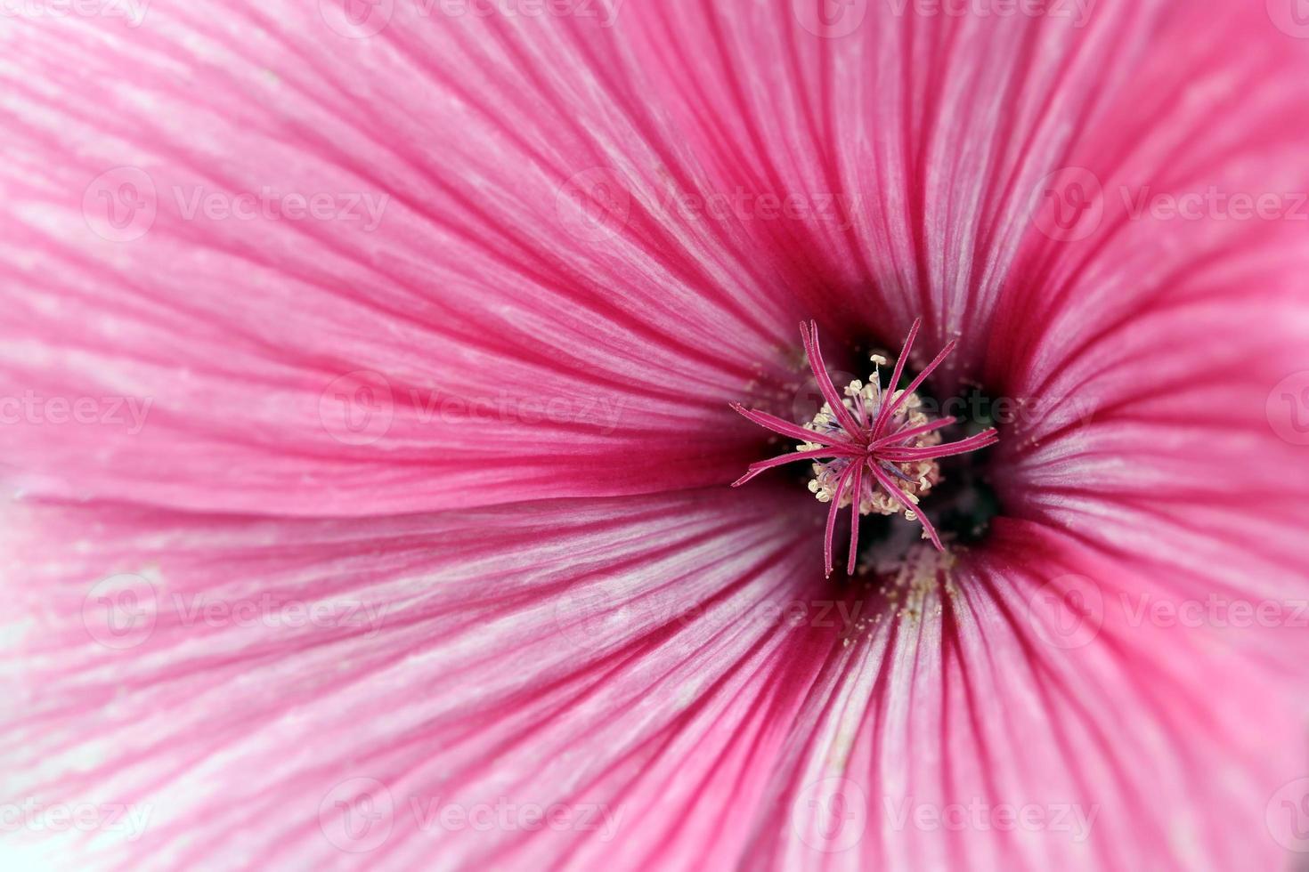 fleur de mauve bouchent photo