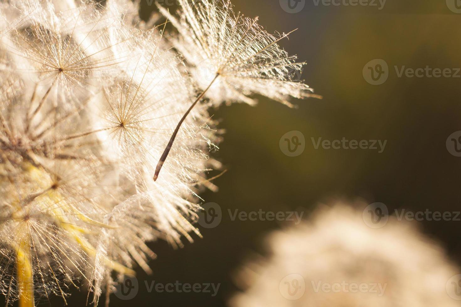 pissenlit fleur. fermer photo