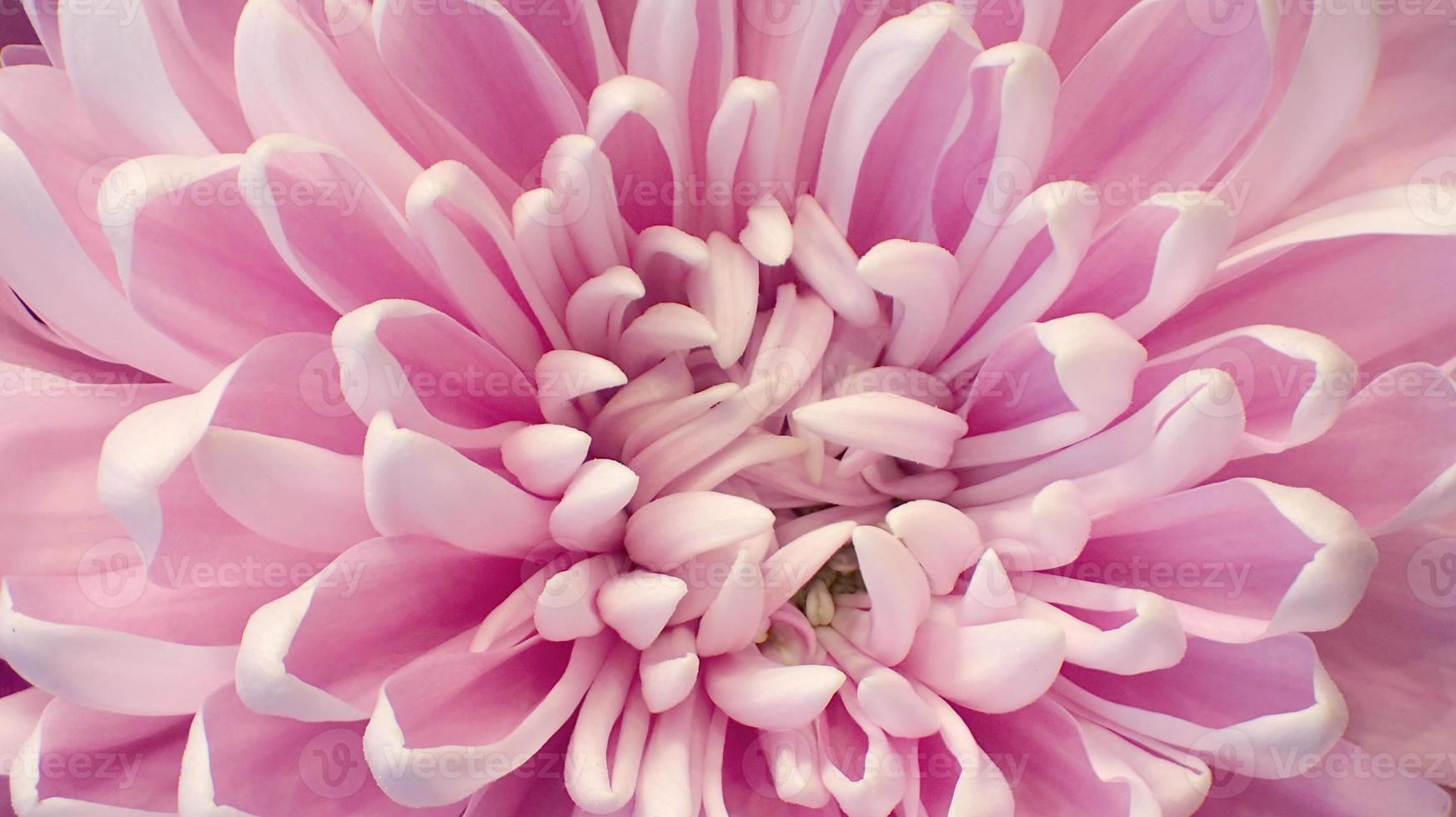 chrysanthème rose bouchent photo