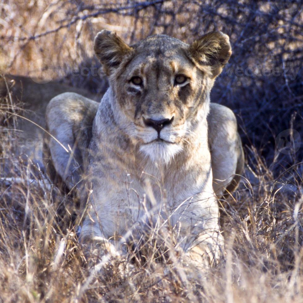 gros plan de lionne photo