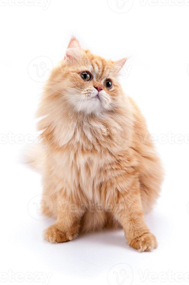 chat persan sur fond blanc. photo