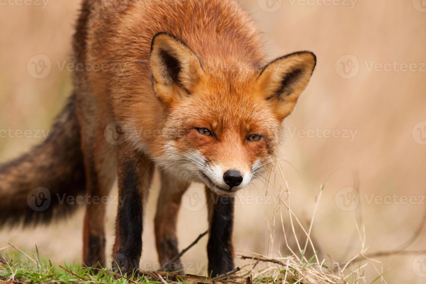 le renard photo