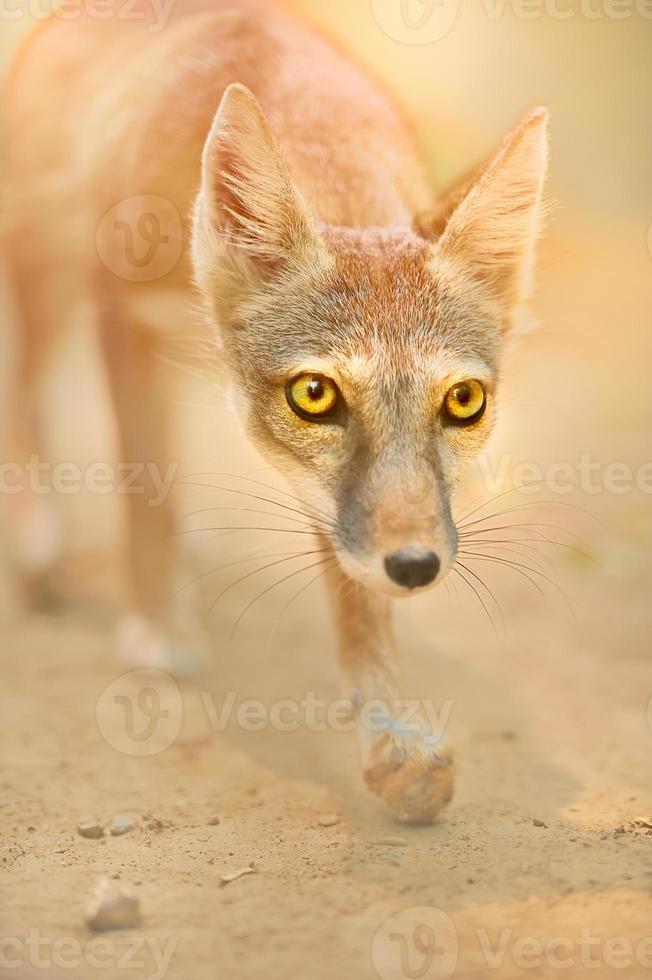 renard, femelle, photo