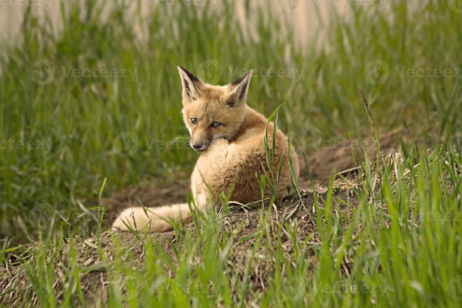kit jeune renard photo