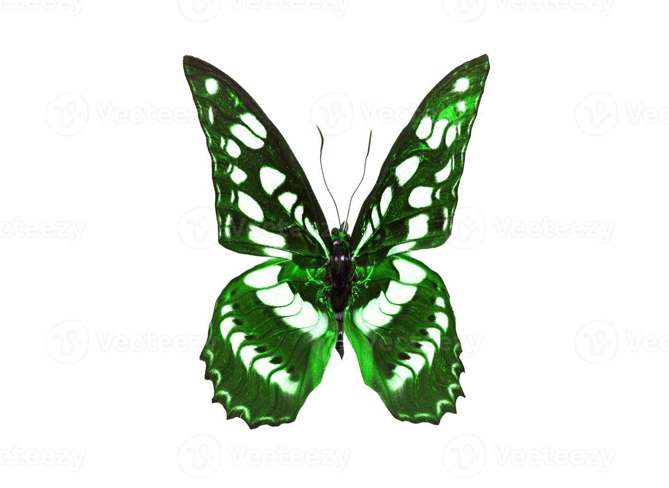 papillon photo