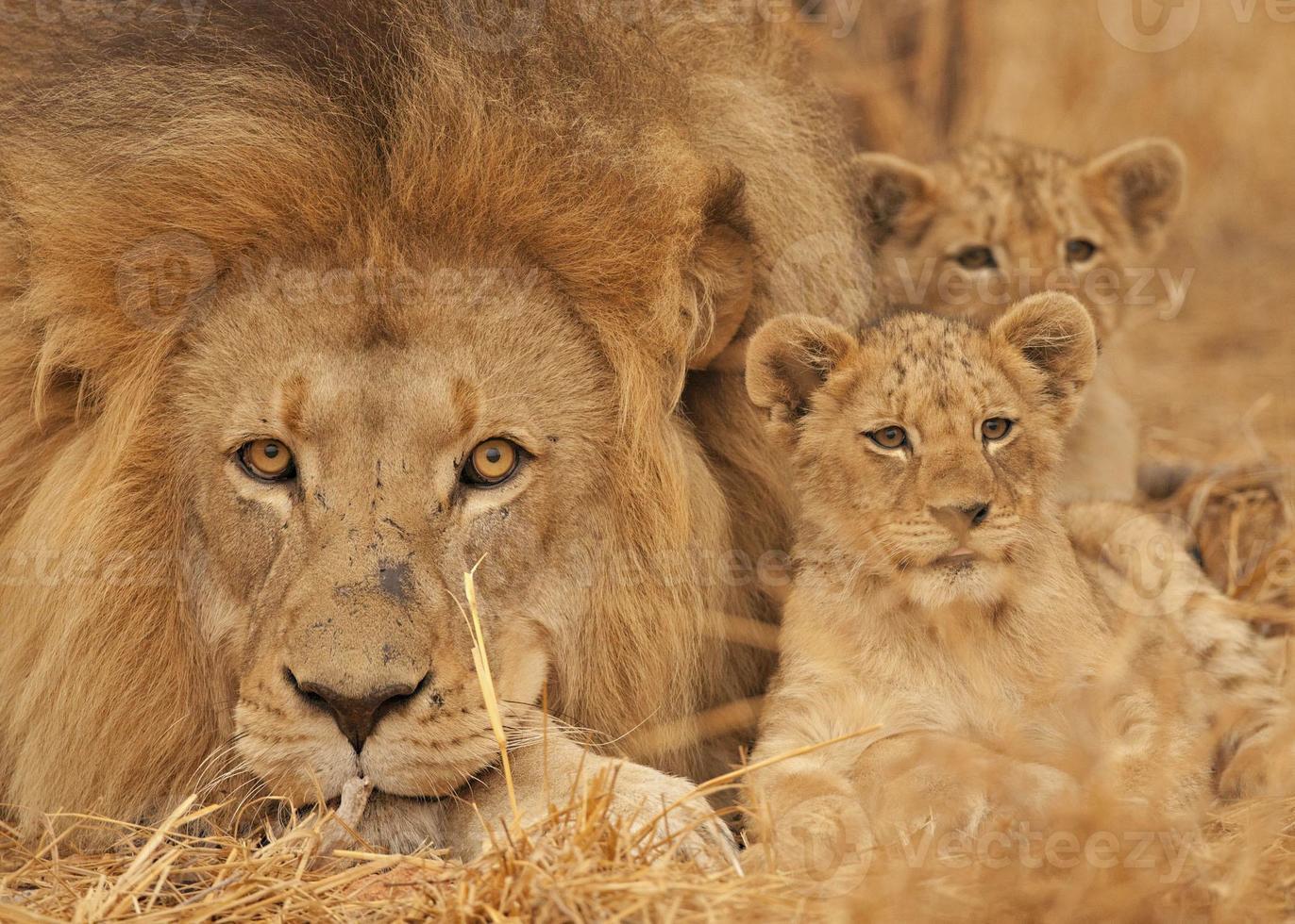 Lion mâle, cub, parc national Kruger, Afrique du Sud. photo