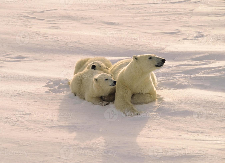 ours polaire et oursons photo