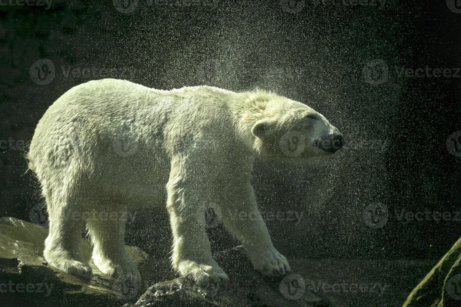 l'ours polaire se secoue. photo
