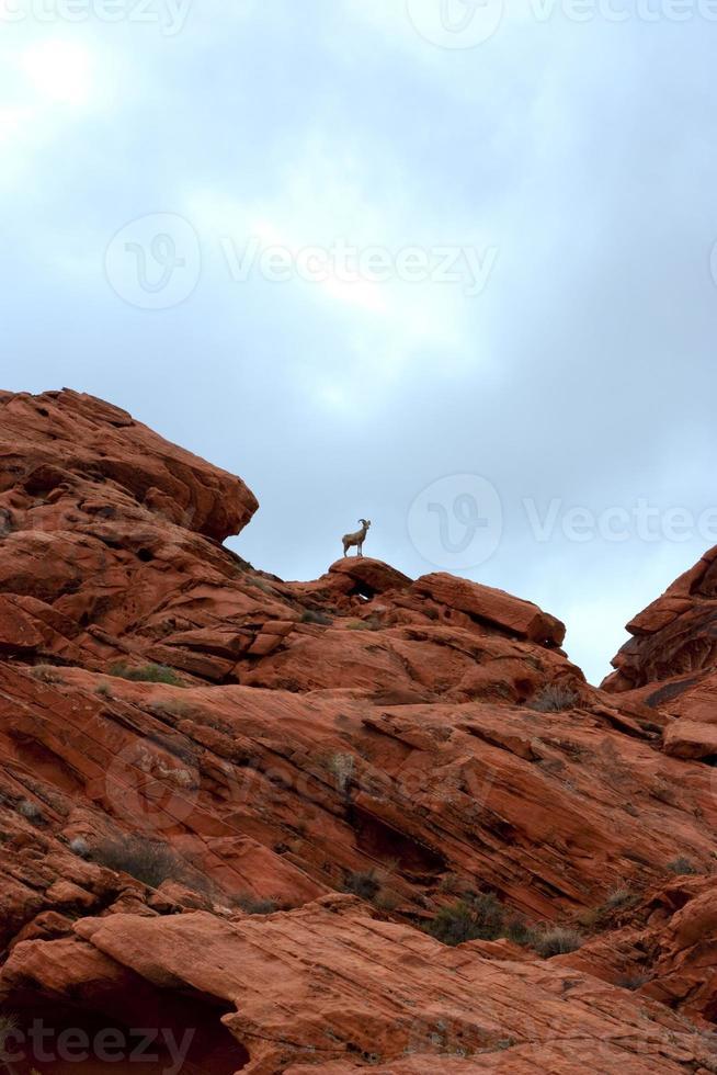 chèvre de montagne solitaire photo
