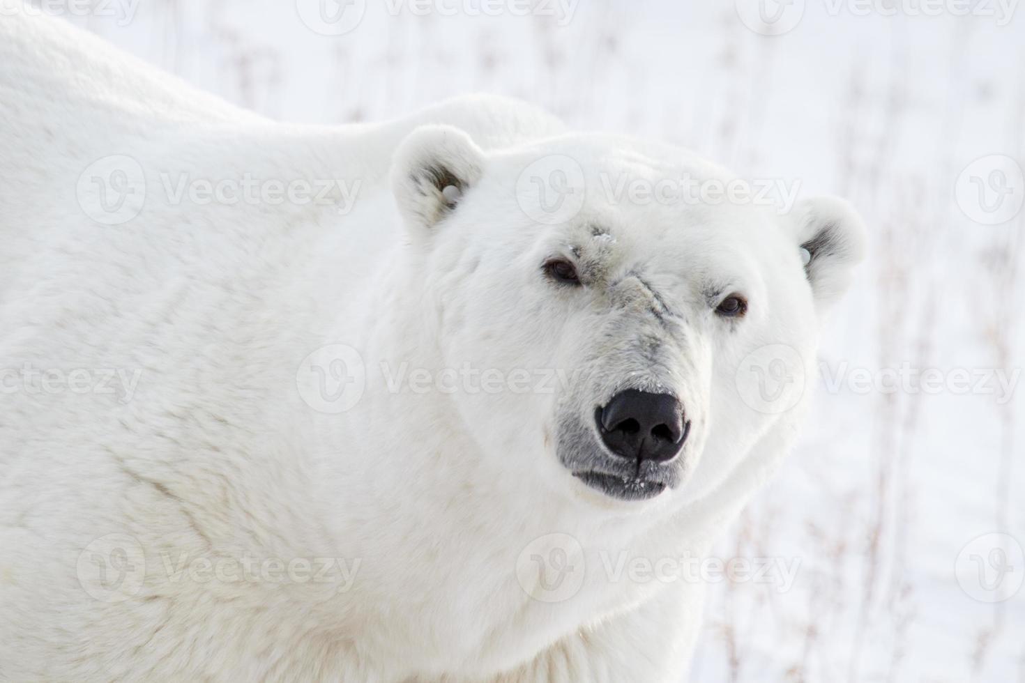 portrait et cicatrices d'ours polaires photo
