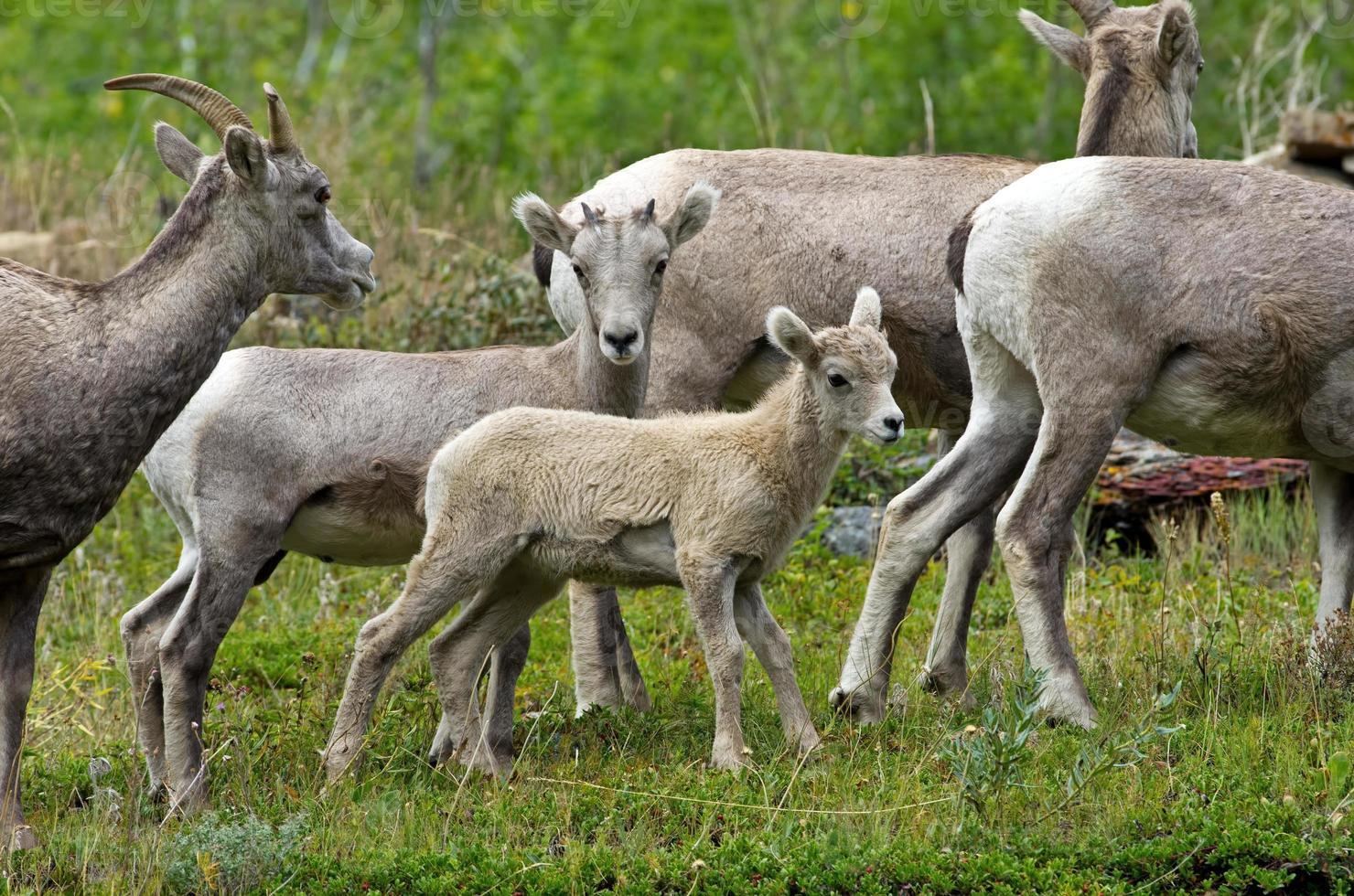 jeunes chèvres de montagne photo