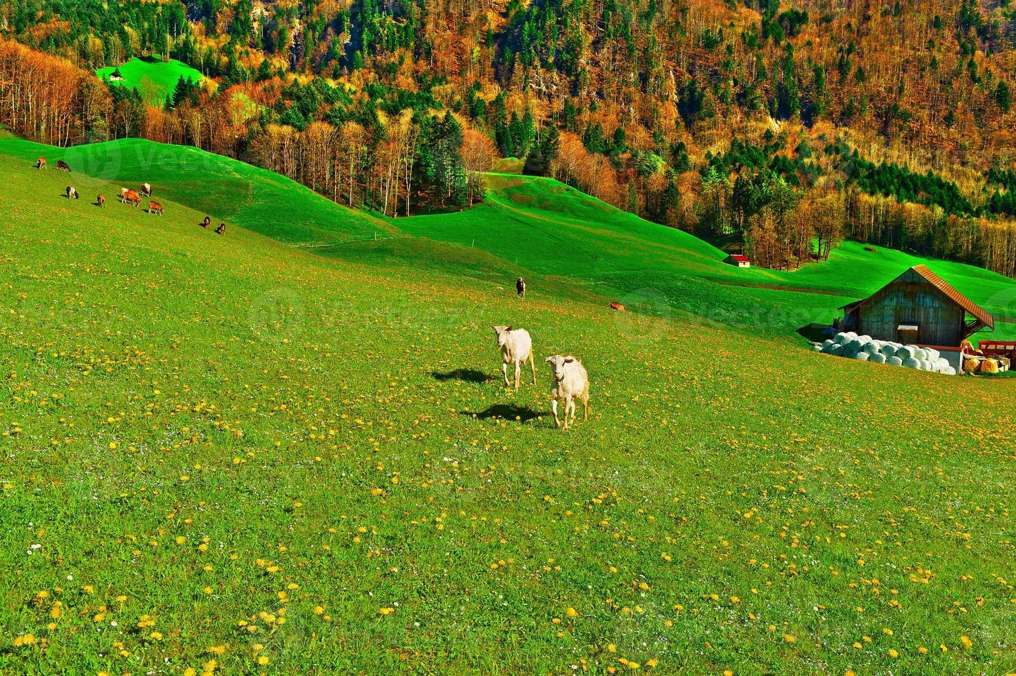 chèvres photo