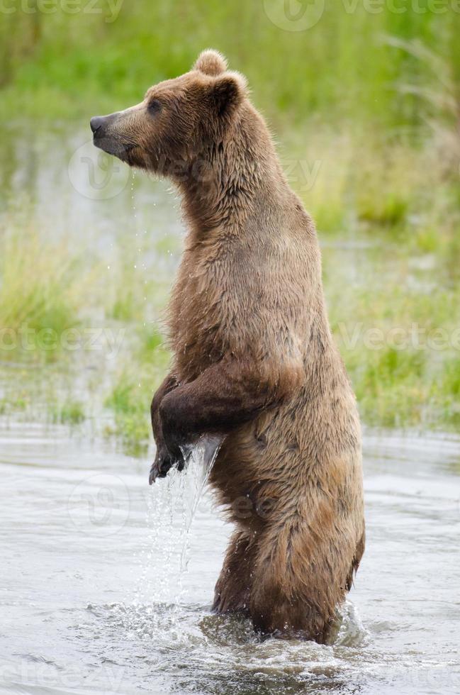 ours brun d'Alaska sur les pattes arrière photo