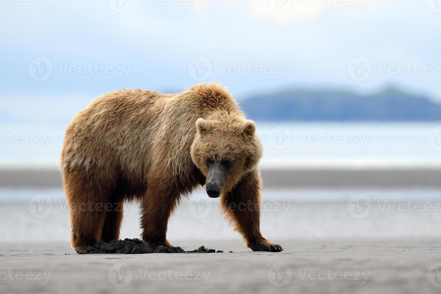 Grizzly photo