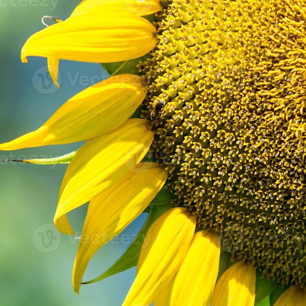 tournesol bouchent avec abeille photo