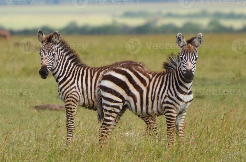 jeunes zèbres au kenya photo