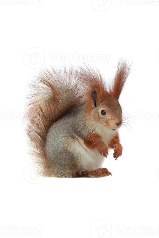 écureuil, photo