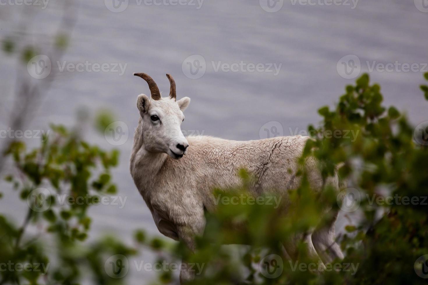 chèvre de montagne (oreamnos americanus) le long de la route seward, alaska photo