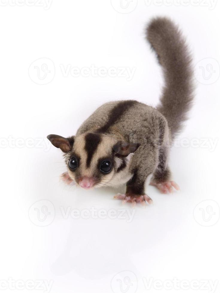 petit écureuil volant mignon. photo
