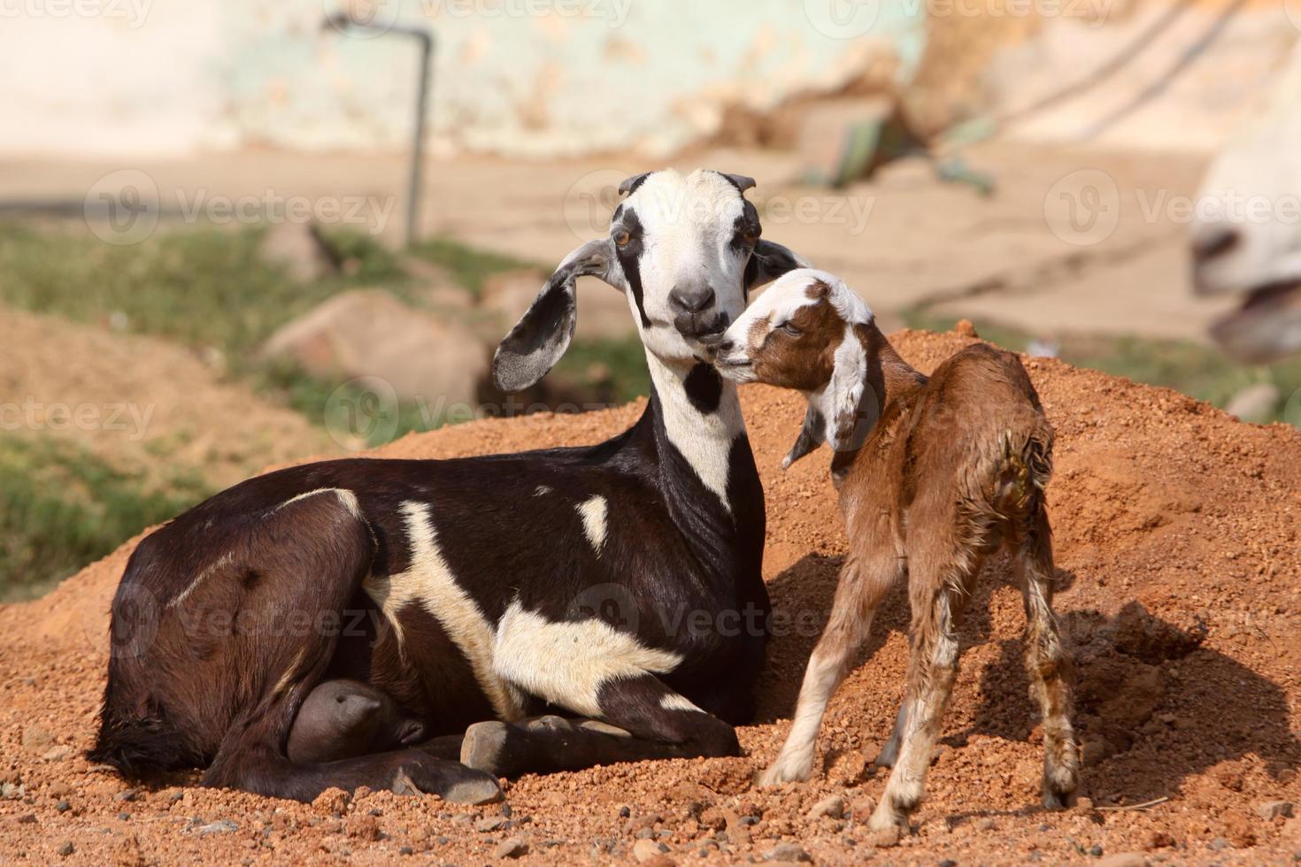 chèvre et chevreau à madhya pradesh, inde photo