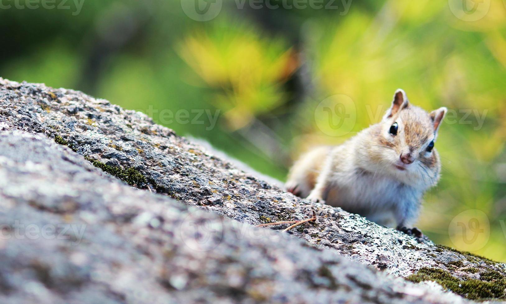 écureuil dans la forêt photo