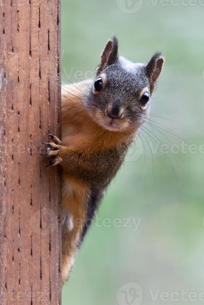 écureuil sur un poteau photo