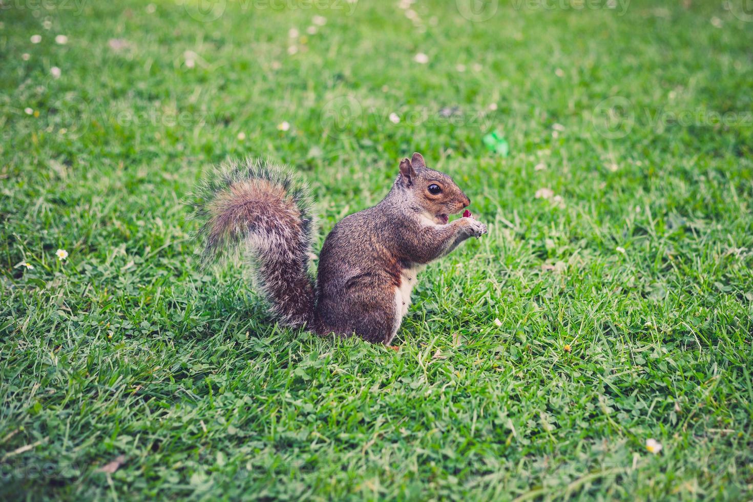 écureuil sur l'herbe photo