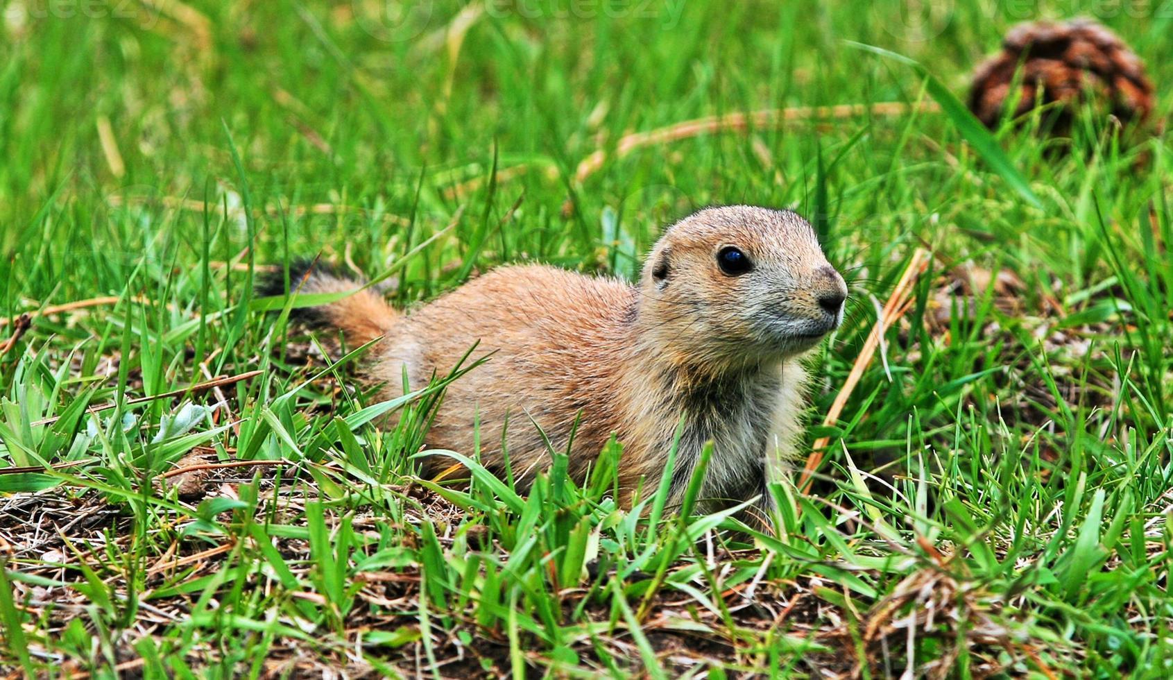 Chien de prairie chiot dans le sud du Dakota USA photo