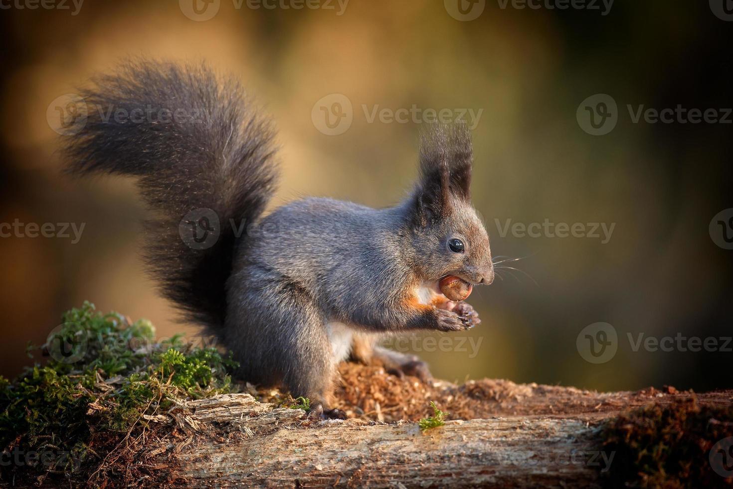 écureuil rouge clair photo
