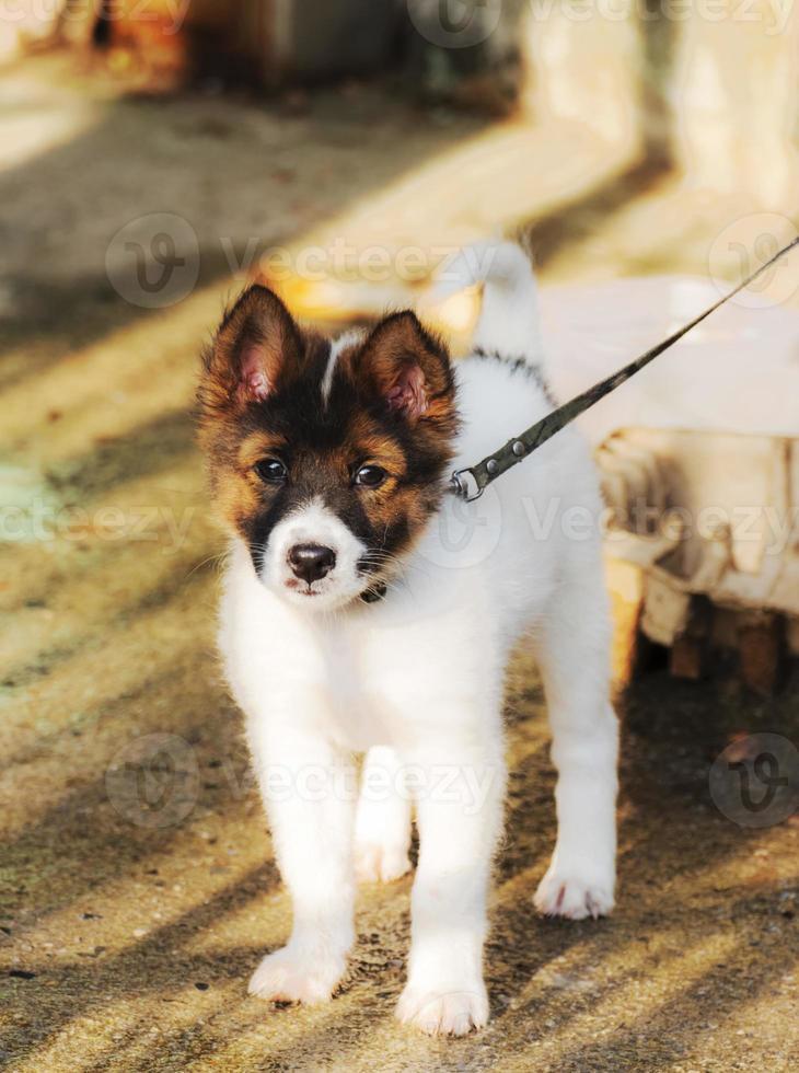 dog.bangkaew photo