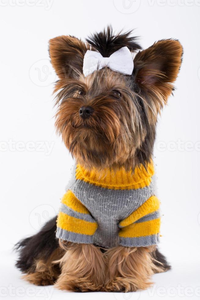 perro yorkshire en estudio photo